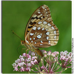 Great Spangled Fritillary on Swamp Milkweed