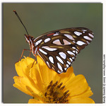 Gulf Fritillary on Yellow Zinnia