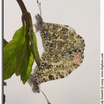 Falcate Orangetip Mated Pair