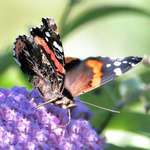Butterfly with it's feeding tube & furry body