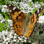 Butterfly on white-Painted Lady
