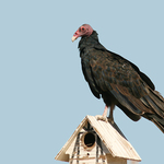 Buzzard On Birdhouse