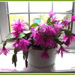 Cacti Rhipsalidopsis rosea