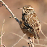 Cactus Wren In Desert