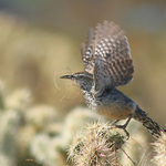 Cactus Wren Takeoff