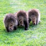 Camera Shy Raccoons