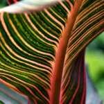 Canna Lily Leaf  at Sundown