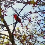 My Firtst Cardinal
