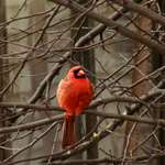 My first Cardinal