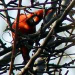 Peek a Boo Cardinal
