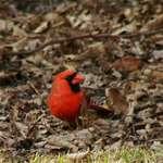 More Cardinals.