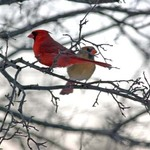 Cardinals- -The Love Birds