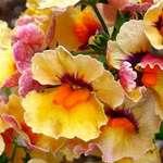 Carmen Miranda Flowers