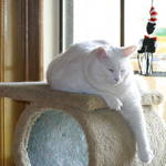 white cat napping