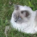 Cat with Blue Eyes portrait
