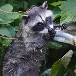 Caught in the Act - Baby Raccoon