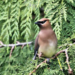 Cedar Waxwing thru Double Paned glass
