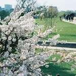 Cherry Tree's
