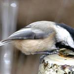 Chickadee Drinking at Fountain