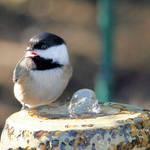 Noisy Chickadee beside Fountain