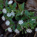 Chickweed Cluster