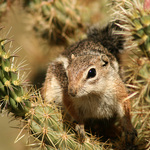 Chipmunk In Cholla Cactus