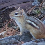 Chipmunk