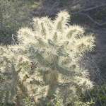 Backlit Teddy Bear Cholla
