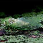 Cicada 2