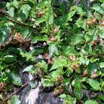 Cicada Bush