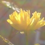 Sunshiny petals