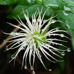Clematis After Rain