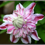 Clematis Josephine