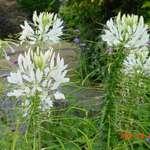 white cleomes