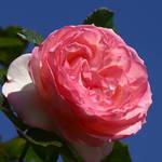 Climbing Rose.