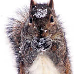 Cold Squirrel