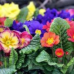 Colours of Primulas - 11 March 08