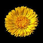 Coltsfoot Blossom