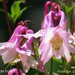 Columbines Front View