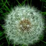 Dandilion Starlight