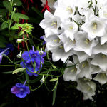 Contrasts - Blue & White flowers