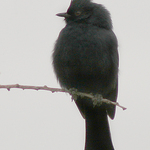 A Cute Phainopepla