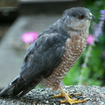 Coopers Hawk - thru' double panes of window