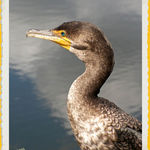 Cormorant (1)