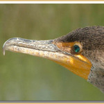 Cormorant  (2)