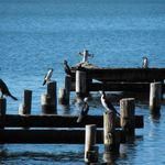 Cormorants at Morrisett