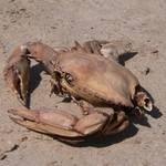 Abandoned Crab