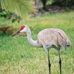 sand hill crane 5