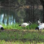 White Ibis at Morrisett
