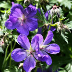 Cranesbill - True Geranium